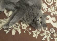 قطة شيرازية أنثى
