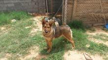 كلبه ولفه الرويسه العمر 11 الشهر