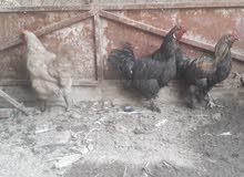 ديج كوجن مع دجاجتين خشنات للبيع