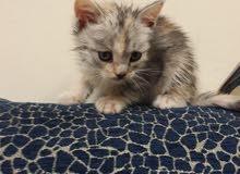 قطه انثي عمر شهرين