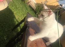 قطط turkish angora 4 شهور
