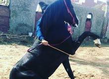 كابتن محمود سامي عاسف الخيوال ومدرب الرقص الاول في المملكه