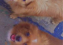 كلاب زينه لولو فوكس