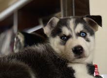 كلب هاسكي مالموت للبيع