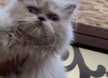 قطه همالايا بلو هاف بيكي