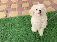 Searching for a brown/cream female toy poodle for mating in UAE