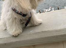 كلب تيرير فرنسي للبيع