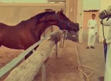 للبيع حصان مكس من غير أوراق