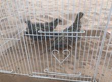 للبيع طيور القطاء العربي عدد 3 حبات