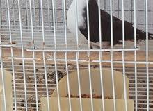 للبيع ذكر اليمامه البطريقي