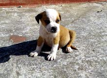 pitbull 2 mois race pure vacciné