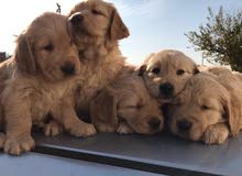 golden retriever puppies/جرو جولدن