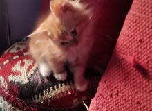 قطط شيرازي سن 3شهور
