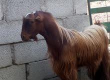 تيس عماني