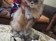 قطة شيرازي مكس