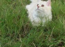 قطط شيرازي مون فيس (ذكر ابيض واورنج خفيف+انثى ابيضورمادي)بصحة جيدة جدا