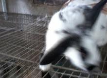 أرنب المانيه