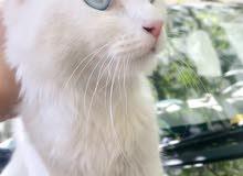 قطوسة فارسي