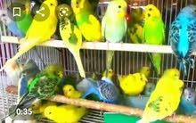 طيور الحب (بادجي منتجين )