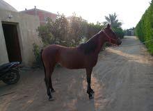 فرسة عربي اصيل نسب رائع العمر 7سنوات عشار 3شهور من حصان اسود ابن صامد الامين