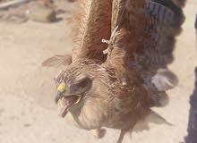 طائر عقاب للبيع بسعر مغري