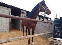 حصان انجليزي توربريد