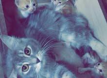 قطط صغار للبيع العمر شهر