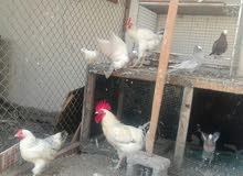 للبيع ديكين ودجاجه فرنسيات او للبدل بديك باكستاني السعر ب18 المكان المصنعه