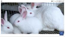 فني تربية الأرانب العصرية أبحث عن عمل