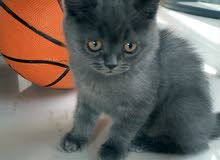 British short hair Kitten ( برتش شورت هير)
