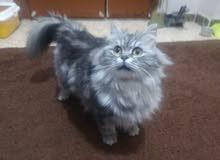 قطه شنشيلا