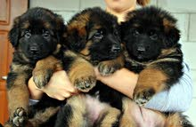 puppies for sale german long-haired shepherd
