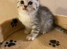 قطط سكوتش ستريت سلفر مستوى عالي جدا جدا