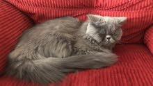 قط بيكي فيس للتبني