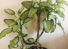 Dumbcane Plant