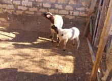 نعجتين تحتهم خروف وفطيمه0911164202