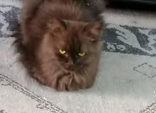 للبيع قطة شيرازيه