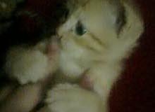 قطة رومي 45 يوم