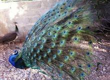 للبيع فروخ طاؤوس Peacock chicks for sale