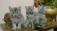 4 قطط شيرازى مون فيس تربيه منزليه  لونهم رمادى عمرهم 53 يوم للبيع