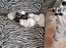 قطط شيرازي بيور عيوز زرق صافي موجودين بشارقة