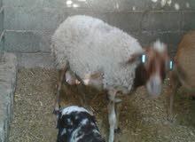 نعاجة سداس تحتها خروف عمره عشرين يوم للبيع ب1200 كاش فقط والبيع على الهاتف