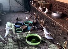 قفص طيور للبيع مع 30 حمامة من نوع نمساوي