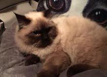 قطه نوع هملايا السعر رخيص