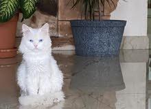 قط تركي ذكر للتزاوج