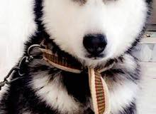 كلب هاسكي عيون كرستال