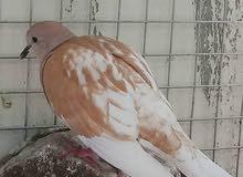 طيور العفاد