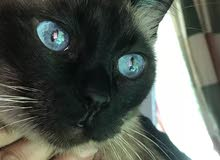كاجو)قطة سيامية للبيع)