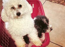 Toy Poodle Pure White Color Available