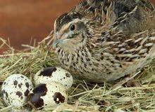 تخفيض على الطيور 20% السمان الجامبو والبيض مضمون